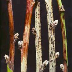 cancri-rameali
