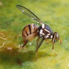 mosca-dellolivo