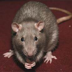 ratto-delle-fogne