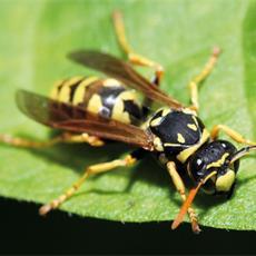 vespe-e-calabroni