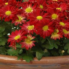 crisantemoblogzapi