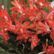 cactusnataleblogzapi