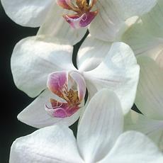 orchideablogzapi