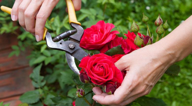febbraio-rose