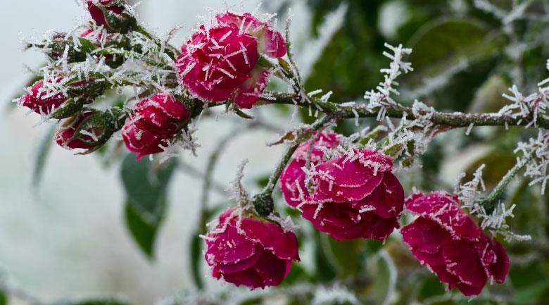 gennaio-rose
