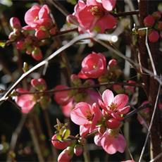 cotogno-da-fiore