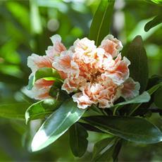 melograno-da-fiore